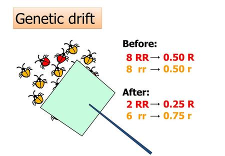 Genetic drift 8 RR 8 rr Before: After: 2 RR 6 rr 0.50 R 0.50 r 0.25 R 0.75 r.