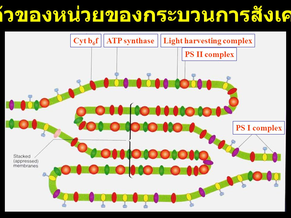 Photosynthesis 1. Photochemical reaction (light reaction) 2. Biochemical reaction (dark reaction)