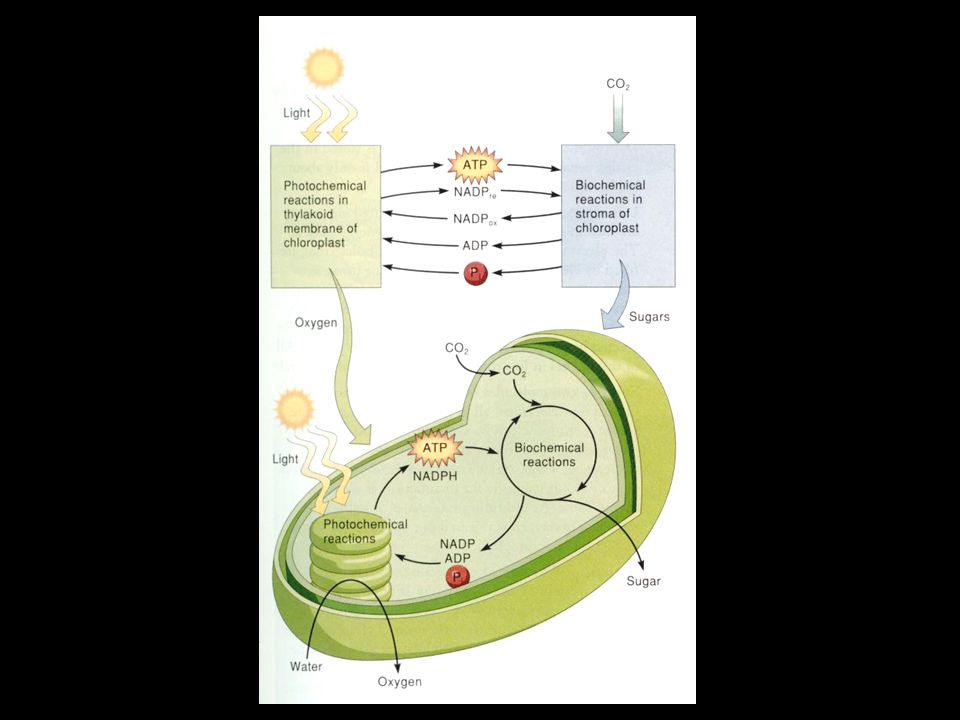 Calvin Cycle C3 plant