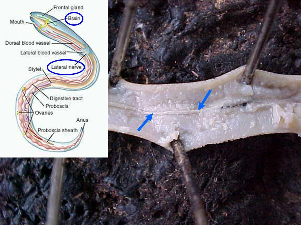 18 Reproductive system อวัยวะของระบบสืบพันธุ์อยู่ใน coelom เพศผู้มีอวัยวะสืบพันธุ์ชุดเดียว เพศเมียมี อวัยวะสืบพันธุ์เป็นคู่ Male reproductive organ อยู่ครึ่งท้าย ลำตัว Thread-like testis ถัดมาคือ vas deferens และ seminal vesicle กล้ามเนื้อ หนา ซึ่งด้านปลายจะต่อเข้า ejaculatory duct ที่เปิดออกทาง cloaca ด้านหลัง cloaca มี penial spicule 1 คู่ ช่วย เปิด genital pore เพศเมียระหว่างสืบพันธุ์