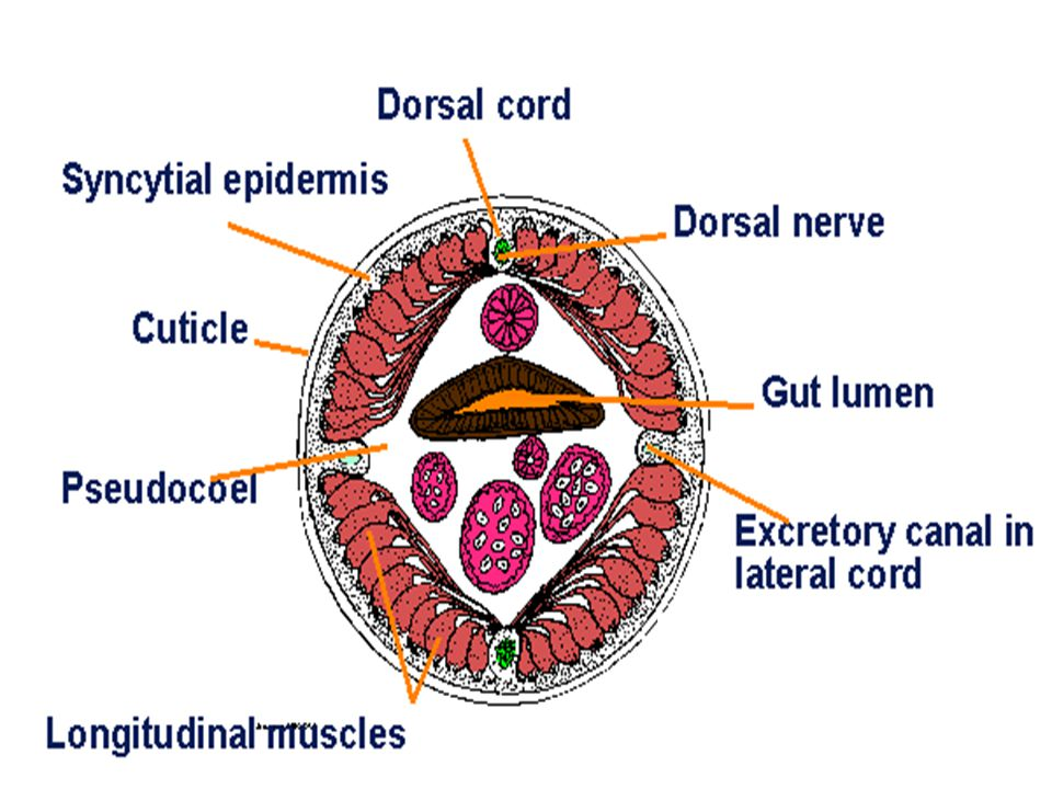 10 Nutrition ปรสิตในลำไส้เล็กของคน กินอาหารที่ โฮสต์ย่อยแล้ว รวมทั้งใช้ริมฝีปากกัดผนัง ลำไส้ดูดกินเลือด ช่องปากมี lip 3 ชิ้น ทางเดินอาหาร ประกอบด้วย - Pharynx เป็นท่อกล้ามเนื้อหนา มี gland cell ช่องภายในมี 3 แฉก - Intestine ท่อตรงยาวตลอดลำตัว โดยเปิด ออก anus ในตัวเมีย และเปิดออก cloaca ใน ตัวผู้ ผนังลำไส้เป็น simple columnar epithelial cell มี cuticle หุ้มด้านนอกและบุ ด้านใน - Triploblastic animal และมี pseudocoelom
