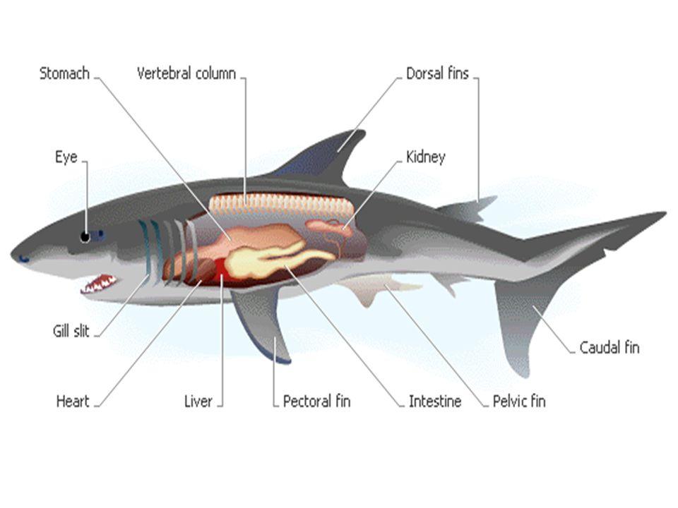 กระเบน (Ray) ตัวลื่นไม่มีเกล็ด dorsal fin เล็กอยู่ท้ายลำตัว, pectoral fin แผ่ออกสองข้างตัว, pelvic fin อยู่ด้านท้องตอนท้าย ไม่ มี anal fin และ caudal fin Spiracle 1 คู่อยู่หลังตา, nostril และ gill slit 5 คู่อยู่ด้านท้อง