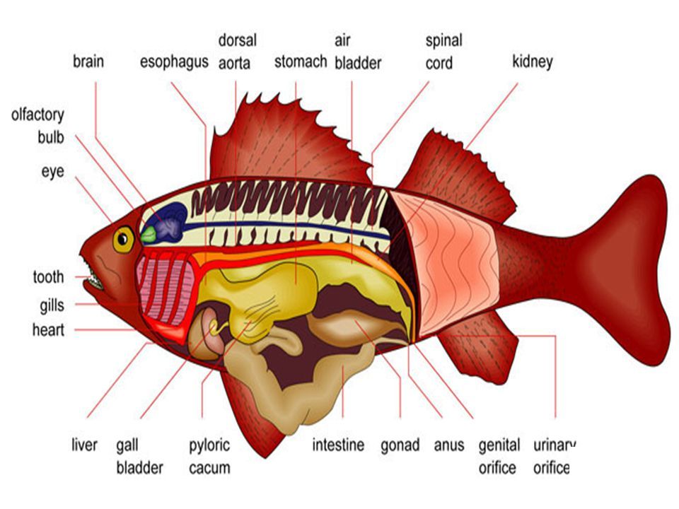 Dorsal fin Caudal fin Anal fin Pectoral fin Pelvic fin Oreochromis niloticus