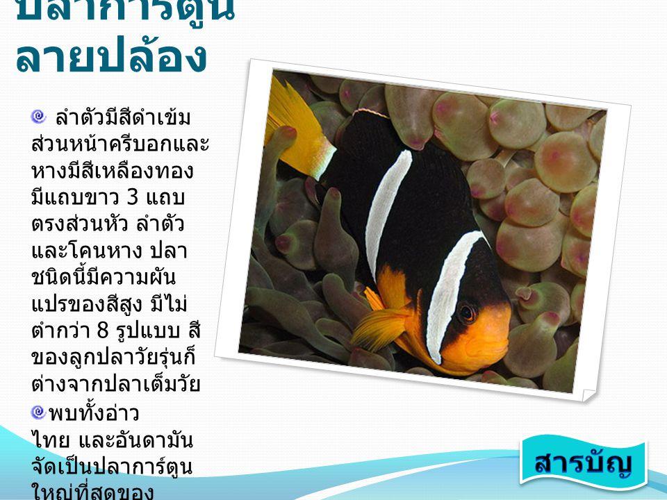 ปลา การ์ตูน อินเดียน ลำตัวมีสีเนื้ออม เหลืองทองอมชมพู มีแถบขาวเล็ก ๆ พาดผ่านบริเวณหลัง ตั้งแต่ปลายจมูกจน จรดครีบหาง อาศัย ในที่ลึกตั้งแต่ 3-25 เมตรขนาดโตที่สุด ประมาณ 10-11 เซนติเมตร อาศัยอยู่กับ ดอกไม้ทะเล ชนิด Heteractis magnifica และ Stic hodactyla mertensii อยู่รวมกัน เป็นครอบครัวใหญ่ คล้ายปลาการ์ตูนส้ม ขาว พบอาศัยอยู่ ทางฝั่งอันดามัน