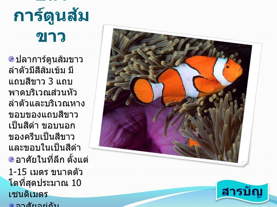 ปลาการ์ตูน อินเดียแดง ลำตัวมีสีเนื้ออม เหลืองทองอม ชมพู มีแถบขาวพาด อยู่บริเวณหลังตา อาศัยในที่ลึกตั้งแต่ 3-25 เมตรขนาด โต ที่สุดประมาณ 10-11 เซนติเมตร อาศัยอยู่กับ ดอกไม้ทะเลชนิด Heteractis magnifica และ Stichodactyla mertensii อยู่รวมกัน เป็นครอบครัวใหญ่ พบเห็นได้ตามแนว ปะการังทางฝั่งอ่าว ไทย