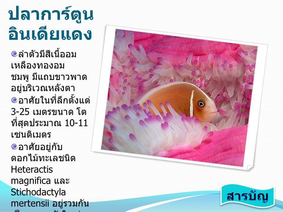 ปลาการ์ตูน แดงดำ ปลาเต็มวัยลำตัวมีสี ส้มแดงและมีปื้นสีดำ ขนาดใหญ่บริเวณ หลัง ส่วนปลาวัยรุ่น จะยังไม่มีปื้นสีดำ และจะมีแถบสีขาว พาดขวางลำตัว บริเวณหลังตา ขนาด โตเต็มที่ประมาณ 12 เซนติเมตร อาศัยตามแนว ปะการังชายฝั่งที่เป็น พื้นทราย หรือตาม ส่วนลาดชันของแนว ปะการัง มักอาศัยอยู่ กับดอกไม้ทะเล ชนิด Entacmaea quadricolor หรือ Heteractis crispa พบทางฝั่ง ทะเลอันดามัน