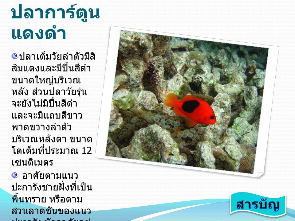 ปลาการ์ตูน มะเขือเทศ ปลาเต็มวัยลำตัวมีสี ดำอมแดง ครีบทุก ครีบมีสีแดง มีแถบสี ขาว 1 แถบ พาดขวาง บริเวณหลังตา ปลา ขนาดเล็กจะมีลำตัว และครีบเป็นสีแดง มี แถบขาวพาดขวาง ลำตัว 3 แถบ บริเวณ หลังตา ตอนกลาง ของลำตัว และโคน หาง ในปลาวัยรุ่นแถบ สีขาวที่โคนหางจะ หายไปขนาดโตเต็ม วัยประมาณ 12 เซนติเมตร อาศัยอยู่ตามลากูน หรือรอบนอกของแนว ปะการัง มักอาศัยอยู่ กับดอกไม้ทะเล ชนิด Entacmaea quadricolor