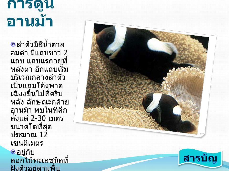 ปลาการ์ตูน ลายปล้อง ลำตัวมีสีดำเข้ม ส่วนหน้าครีบอกและ หางมีสีเหลืองทอง มีแถบขาว 3 แถบ ตรงส่วนหัว ลำตัว และโคนหาง ปลา ชนิดนี้มีความผัน แปรของสีสูง มีไม่ ตำกว่า 8 รูปแบบ สี ของลูกปลาวัยรุ่นก็ ต่างจากปลาเต็มวัย พบทั้งอ่าว ไทย และอันดามัน จัดเป็นปลาการ์ตูน ใหญ่ที่สุดของ เมืองไทยขนาดโต ที่สุดประมาณ 15 เซนติเมตร อาศัยอยู่ร่วมกับ ดอกไม้ทะเลหลาย ชนิด