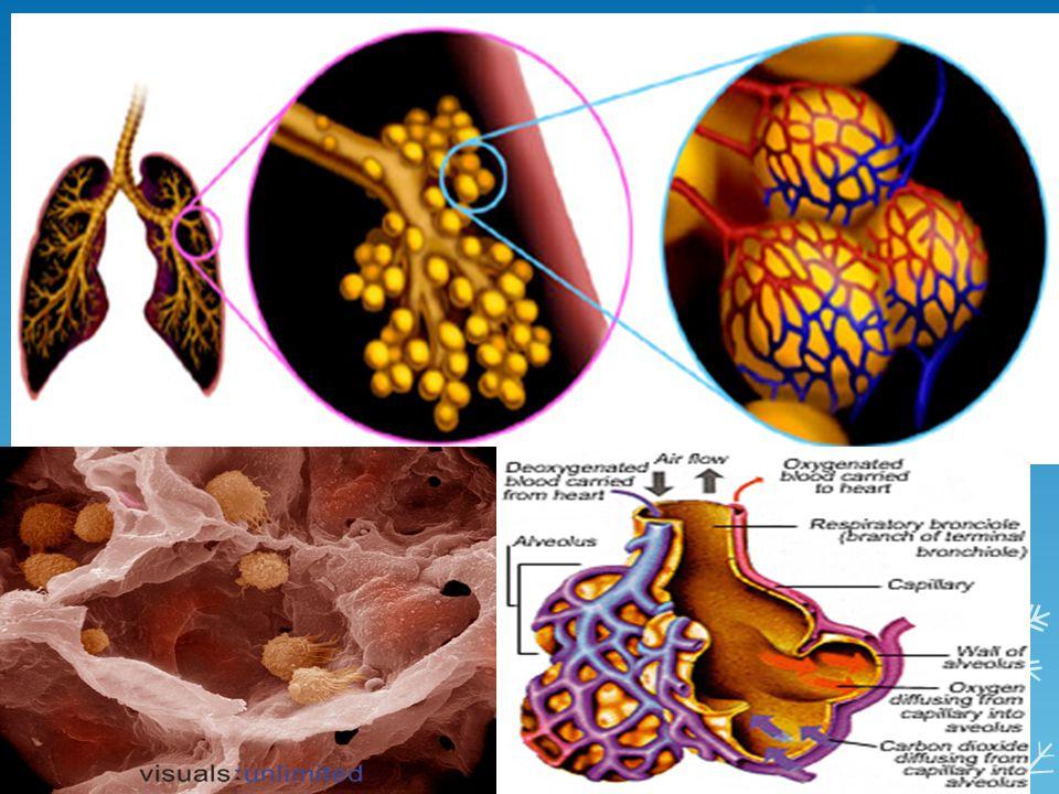 ระบบหายใจ - เหนื่อยง่าย - ผนังถุงลมบางลง - การแลกเปลี่ยน ออกซิเจนไม่สมดุล - เซลล์เยื่อบุ ประสิทธิภาพลดลง ------> ไอได้ไม่ดี ---> ปอดบวม