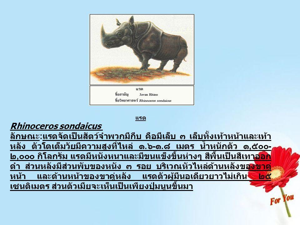 กระซู่ Dicerorhinus sumatrensis ลักษณะ:กระซู่เป็นสัตว์จำพวกเดียวกับแรด แต่มีลักษณะ ลำตัวเล็กกว่า ตัวโตเต็มวัยมีความสูงที่ไหล่ ๑-๑.๕ เมตร น้ำหนักประมาณ ๑,๐๐๐ กิโลกรัม มีหนังหนาและมีขนขึ้นปก คลุมทั้งตัว โดยเฉพาะในตัวที่มีอายุน้อย ซึ่งขนจะลดน้อยลง เมื่อมีอายุมากขึ้น สีลำตัวโดยทั่วไปออกเป็นสีเทา คล้ายสี ขี้เถ้า ด้านหลังลำตัว จะปรากฏรอยพับของหนังเพียงพับเดียว ตรงบริเวณด้านหลังของขาคู่หน้า กระซู่ทั้งสองเพศมีนอ ๒ นอ นอหน้ามีความยาวประมาณ ๒๕ เซนติเมตร ส่วนนอหลัง มีความยาวไม่เกิน ๑๐ เซนติเมตร หรือเป็นเพียงตุ่มนูนขึ้นมา ในตัวเมีย