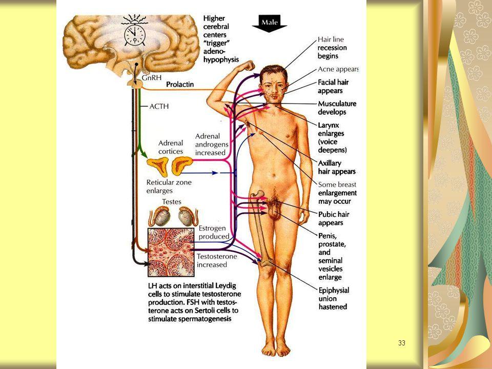 34 Androgen testosterone มากที่สุด สร้างจาก testis (5.6-8 mg/ml) dehydroepiandrosterone (DHEA) สร้างจาก adrenal gland androstenedione สร้างจาก adrenal gland testis สร้าง estradiol (E2) และ estrone (E1) ด้วย