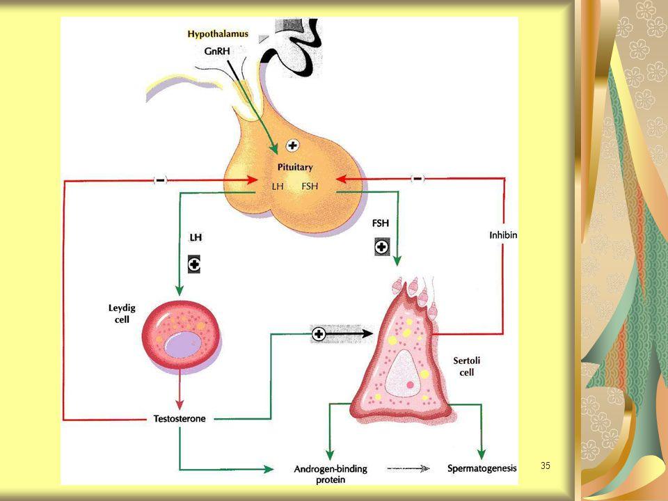 36 ต่อมหมวกไตสังเคราะห์ Dehydroepiandrosterone (DHEA) Dehydroepiandrosterone sulfate (DHEAS) Estrogen Testosterone Androtenedione