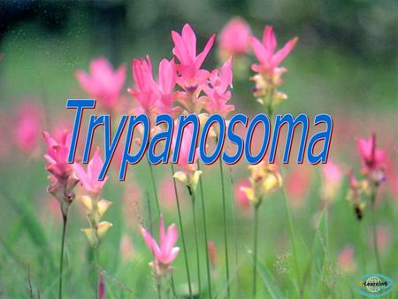 1. Trypanosoma gambiense - Chronic sleeping sickness (West Africa) Vector คือ 2. Trypanosoma rhodesiense Tsetse fly - Acute sleeping sickness (Glossina.