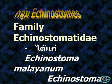 Family Echinostomatidae - ได้แก่ Echinostoma malayanum Echinostoma revolutum Echinostoma ilocanum Hypodereaum conoideum.