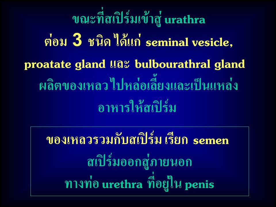 ขณะที่สเปิร์มเข้าสู่ urathra ต่อม 3 ชนิด ได้แก่ seminal vesicle,