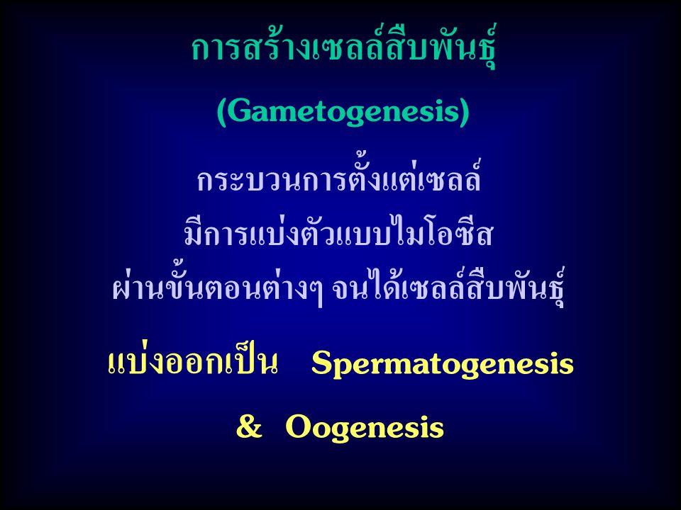 การสร้างเซลล์สืบพันธุ์ (Gametogenesis)