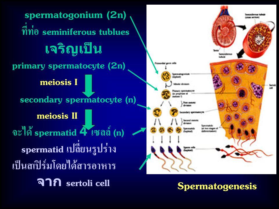 Spermatogenesis spermatogonium (2n) ที่ท่อ seminiferous tublues