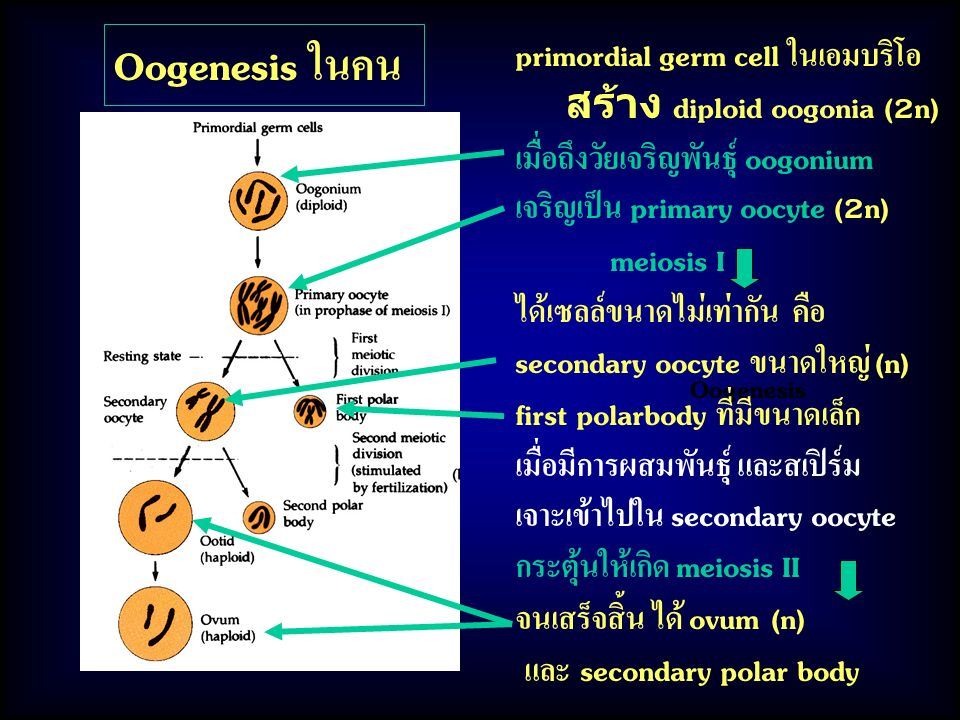Oogenesis ในคน primordial germ cell ในเอมบริโอ