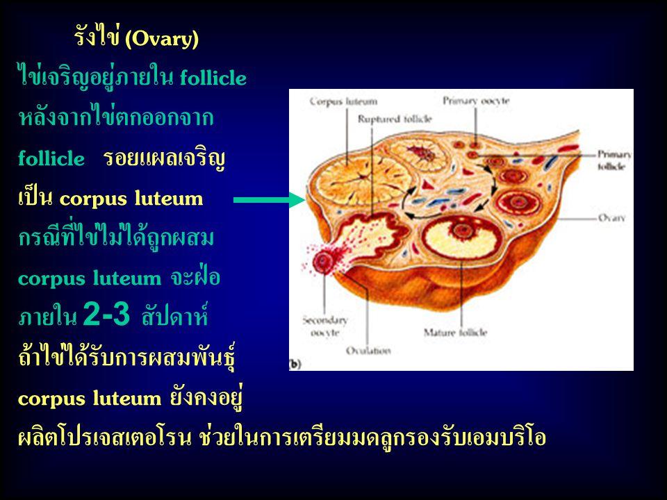 รังไข่ (Ovary) ไข่เจริญอยู่ภายใน follicle. หลังจากไข่ตกออกจาก. follicle รอยแผลเจริญ. เป็น corpus luteum.