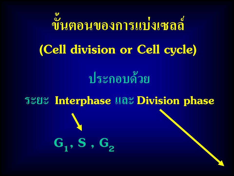 ขั้นตอนของการแบ่งเซลล์ (Cell division or Cell cycle)