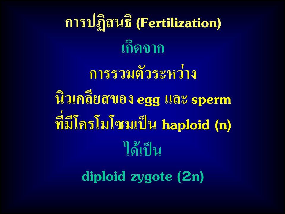 การปฏิสนธิ (Fertilization) เกิดจาก การรวมตัวระหว่าง