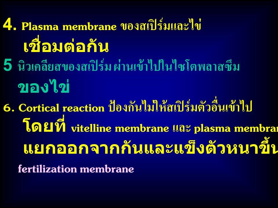 4. Plasma membrane ของสเปิร์มและไข่