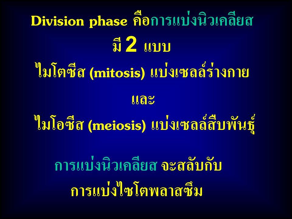Division phase คือการแบ่งนิวเคลียส มี 2 แบบ