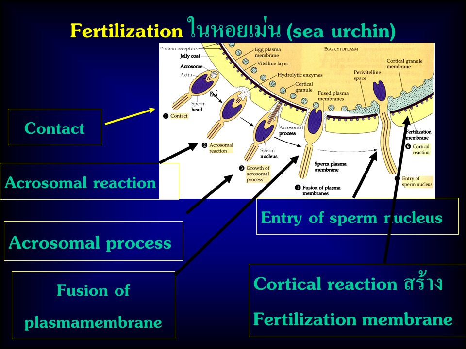 Fertilization ในหอยเม่น (sea urchin)