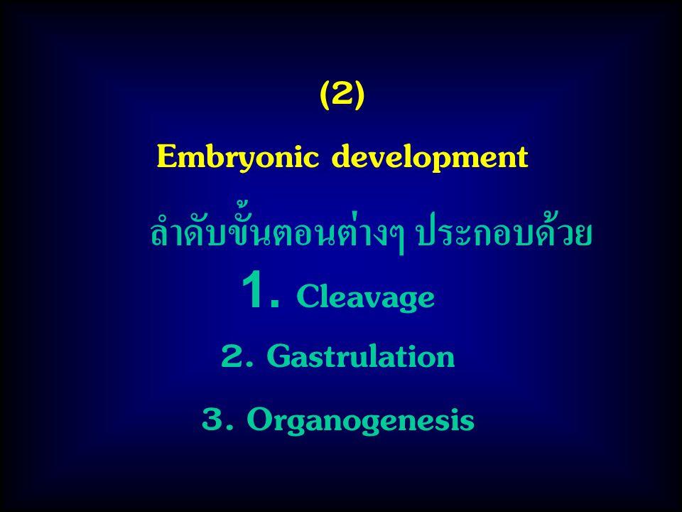 Embryonic development ลำดับขั้นตอนต่างๆ ประกอบด้วย