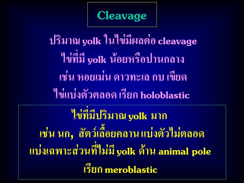Cleavage ปริมาณ yolk ในไข่มีผลต่อ cleavage