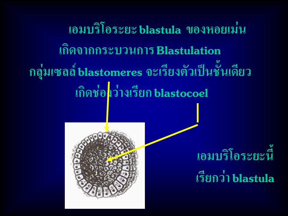 เกิดจากกระบวนการ Blastulation