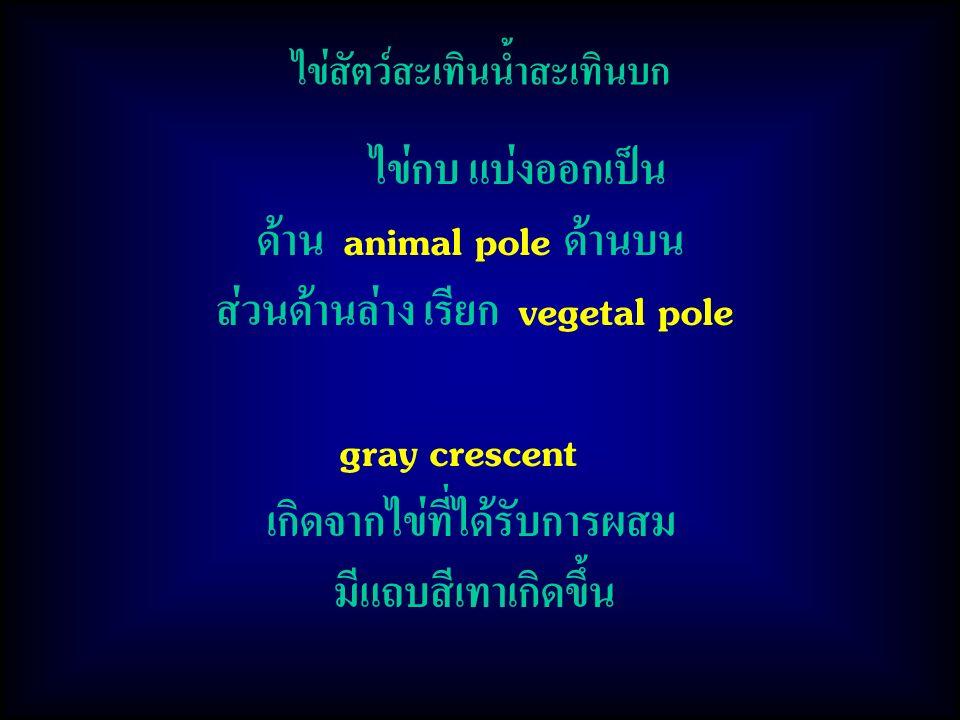 ด้าน animal pole ด้านบน ส่วนด้านล่าง เรียก vegetal pole gray crescent