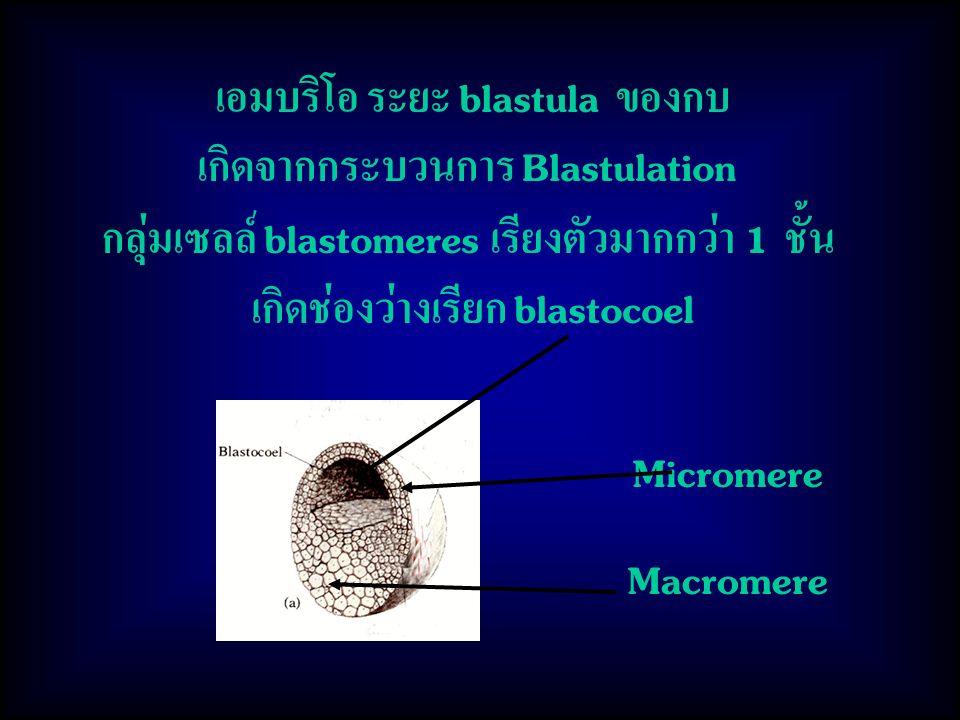 เอมบริโอ ระยะ blastula ของกบ เกิดจากกระบวนการ Blastulation