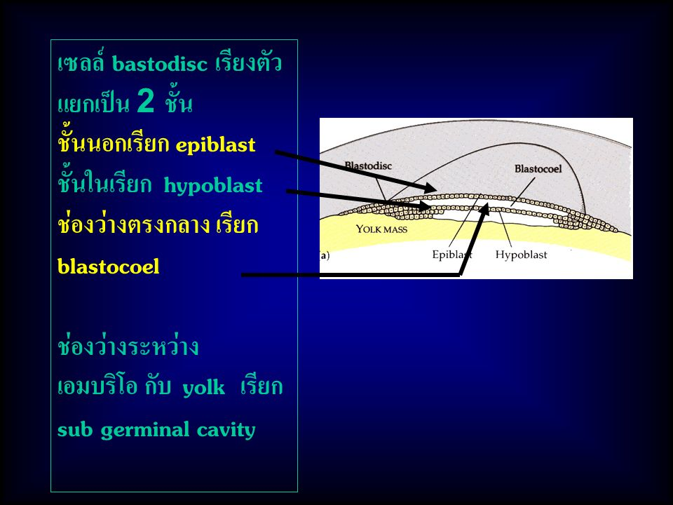 เซลล์ bastodisc เรียงตัว แยกเป็น 2 ชั้น