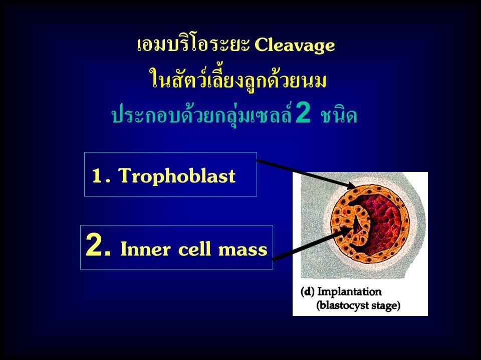 1. Trophoblast 2. Inner cell mass เอมบริโอระยะ Cleavage