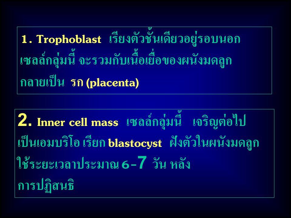 1. Trophoblast เรียงตัวชั้นเดียวอยู่รอบนอก เซลล์กลุ่มนี้ จะรวมกับเนื้อเยื่อของผนังมดลูก กลายเป็น รก (placenta)