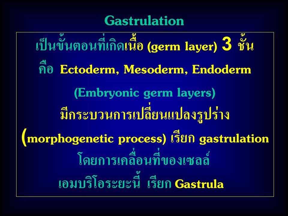 Gastrulation เป็นขั้นตอนที่เกิดเนื้อ (germ layer) 3 ชั้น