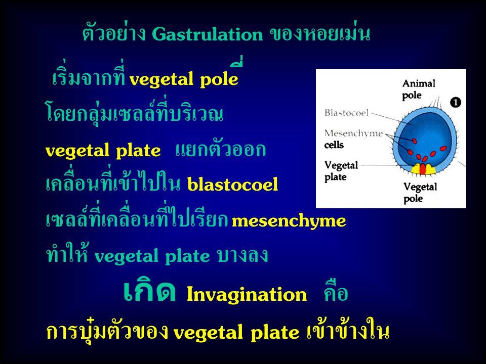 การบุ๋มตัวของ vegetal plate เข้าข้างใน