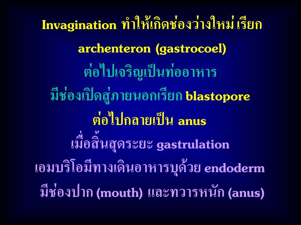 Invagination ทำให้เกิดช่องว่างใหม่ เรียก archenteron (gastrocoel)