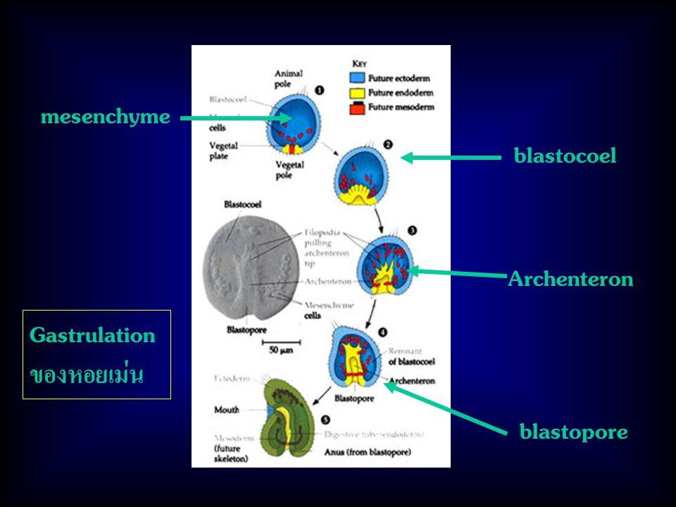 mesenchyme blastocoel blastopore Archenteron Gastrulation ของหอยเม่น