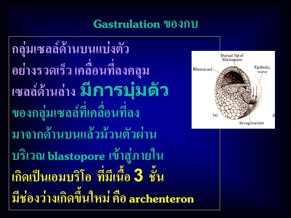 Gastrulation ของกบ กลุ่มเซลล์ด้านบนแบ่งตัว. อย่างรวดเร็ว เคลื่อนที่ลงคลุม. เซลล์ด้านล่าง มีการบุ๋มตัว.