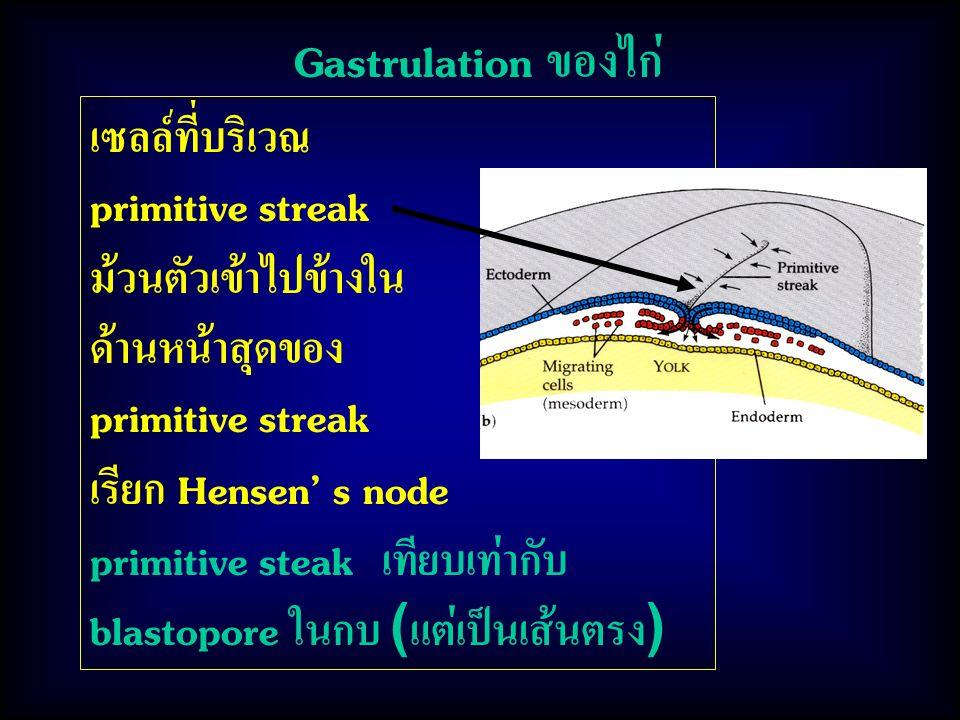 Gastrulation ของไก่ เซลล์ที่บริเวณ primitive streak