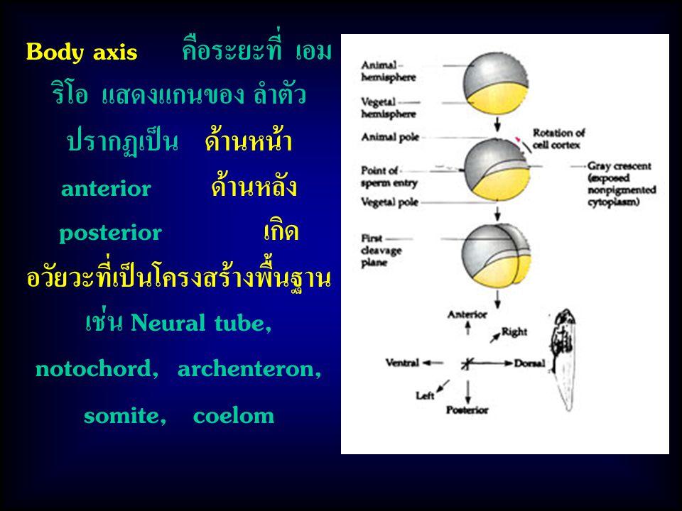 Body axis คือระยะที่ เอมริโอ แสดงแกนของ ลำตัว ปรากฏเป็น ด้านหน้า anterior ด้านหลัง posterior เกิดอวัยวะที่เป็นโครงสร้างพื้นฐาน เช่น Neural tube, notochord, archenteron, somite, coelom