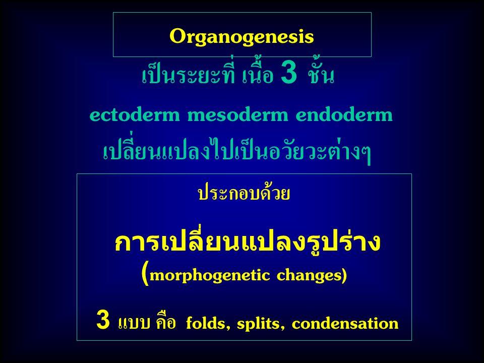 เป็นระยะที่ เนื้อ 3 ชั้น ectoderm mesoderm endoderm