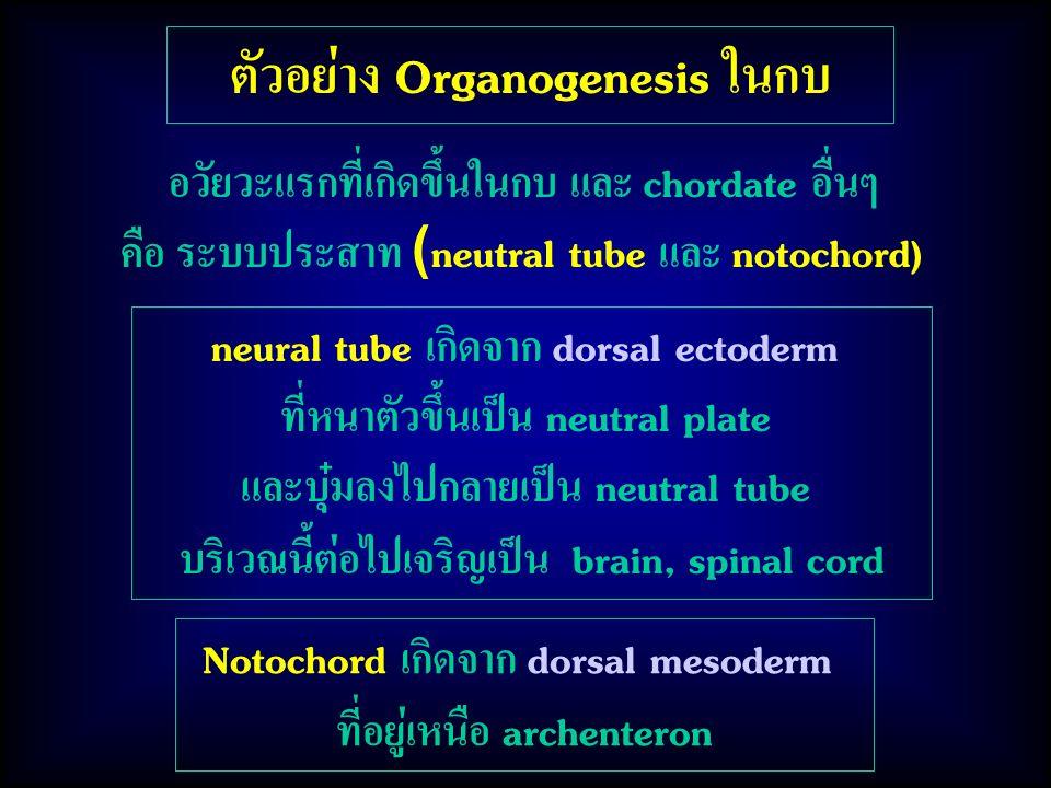 ตัวอย่าง Organogenesis ในกบ
