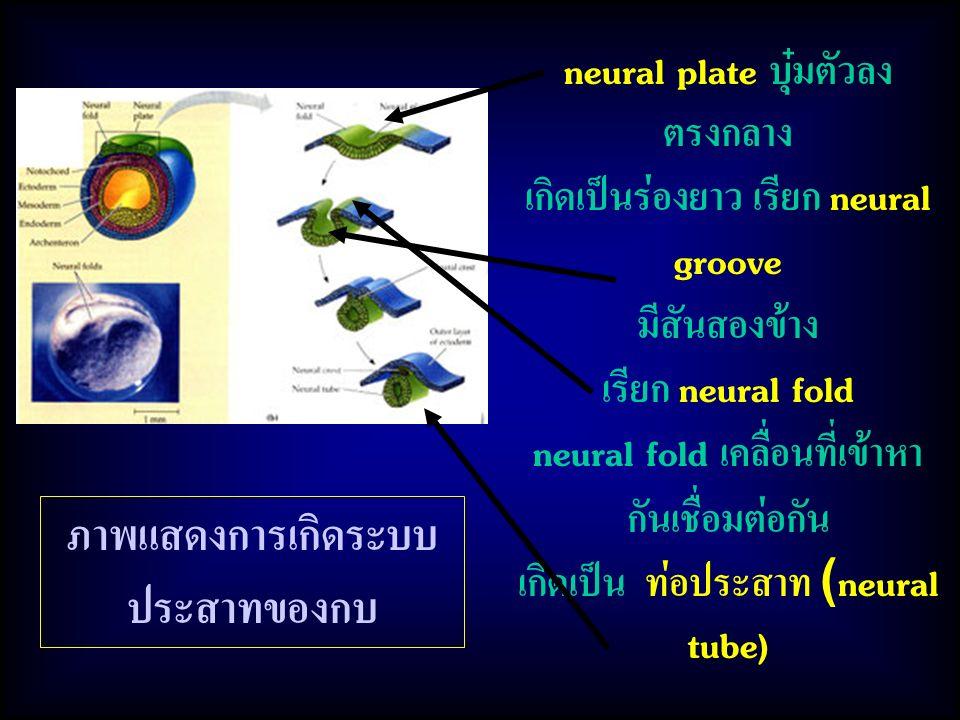 ภาพแสดงการเกิดระบบประสาทของกบ