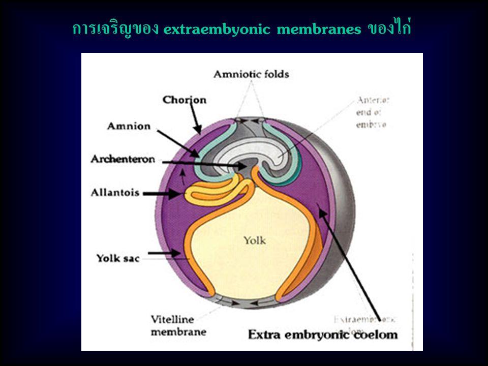 การเจริญของ extraembyonic membranes ของไก่
