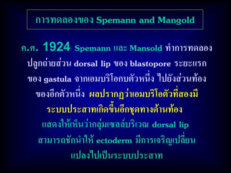 การทดลองของ Spemann and Mangold
