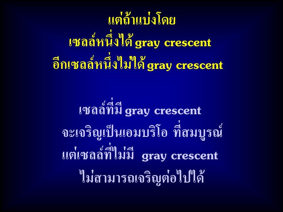 เซลล์หนึ่งได้ gray crescent อีกเซลล์หนึ่งไม่ได้ gray crescent
