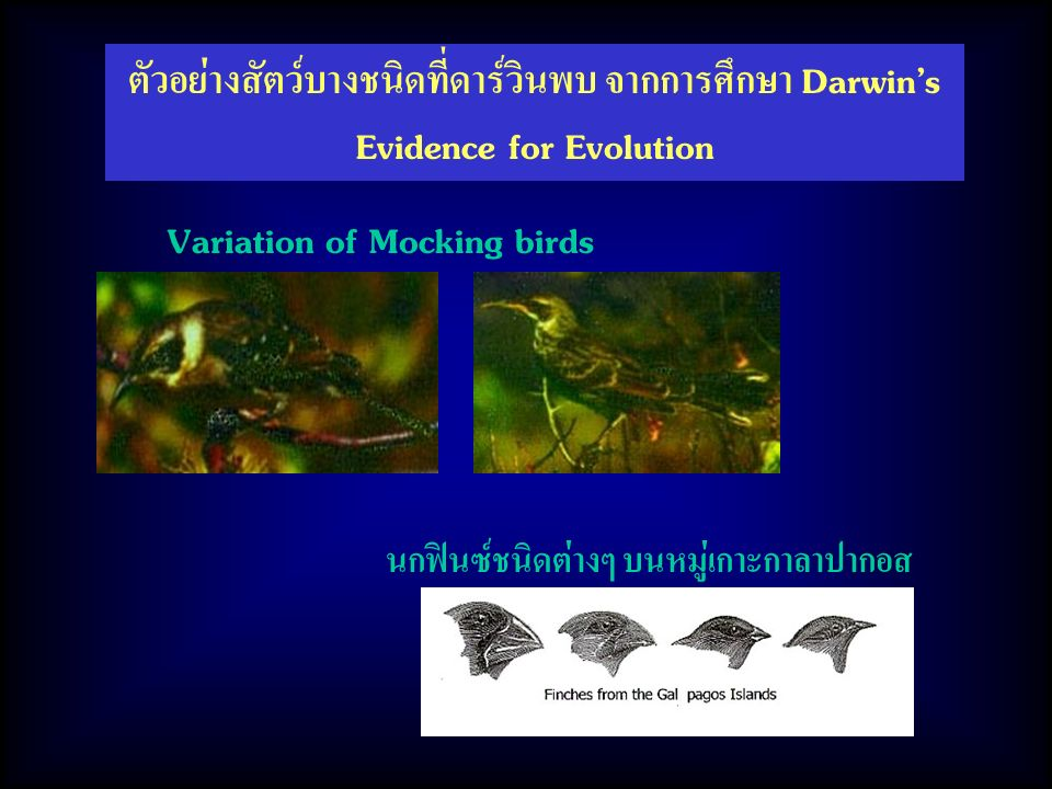 Variation of Mocking birds นกฟินซ์ชนิดต่างๆ บนหมู่เกาะกาลาปากอส